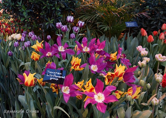 """"""" Репетиция весны""""-так называется выставка цветов, которая открылась в Аптекарском огороде. Более 7000 луковичных были заранее высажены, что бы порадовать всех нас своей красотой на два месяца раньше обычного срока. Любуйтесь.... фото 24"""
