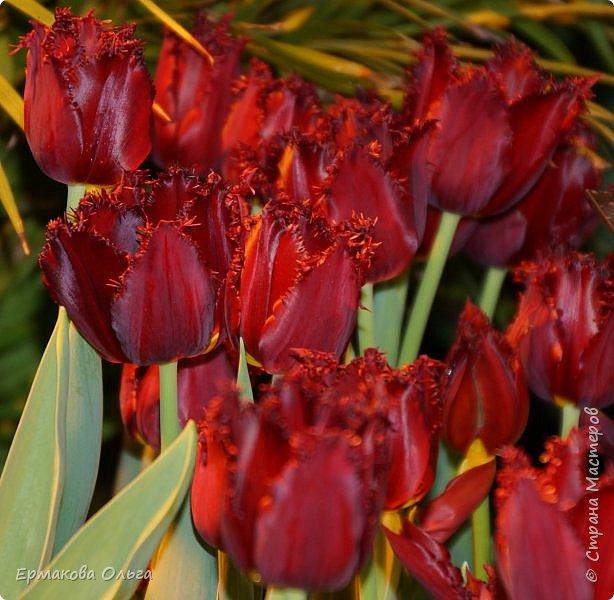 """"""" Репетиция весны""""-так называется выставка цветов, которая открылась в Аптекарском огороде. Более 7000 луковичных были заранее высажены, что бы порадовать всех нас своей красотой на два месяца раньше обычного срока. Любуйтесь.... фото 23"""