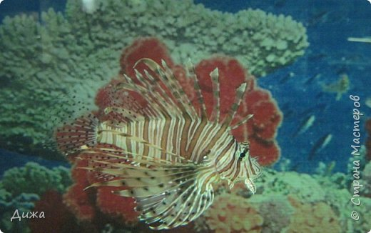 """Мой первый фоторепортаж о том, как мы всей семьёй ходили в развлекательный центр Планета. Там мы случайно увидели выставку морских рыб. Мне очень понравилась выставка. Я таких рыб видела только в книжке. Это рыба-Клоун. Я про него смотрела мультфильм """"В поисках Немо"""".  фото 10"""