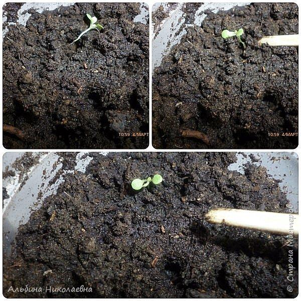 Здравствуйте дорогие мастера и мастерицы! Продолжаем разговор о петунии, вот и пролетел месяц, как мы посеяли  этот великолепный цветок, сегодня я расскажу как правильно пикировать рассаду этого цветка. Для этого нам понадобится почва, емкости для пикировки, рассада, палочки для пикировки, вода. фото 6