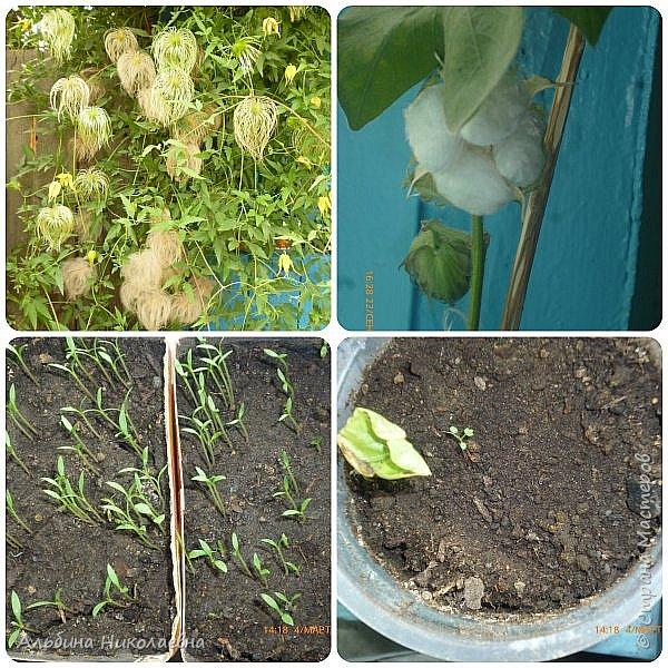 Здравствуйте дорогие мастера и мастерицы! Продолжаем разговор о петунии, вот и пролетел месяц, как мы посеяли  этот великолепный цветок, сегодня я расскажу как правильно пикировать рассаду этого цветка. Для этого нам понадобится почва, емкости для пикировки, рассада, палочки для пикировки, вода. фото 13