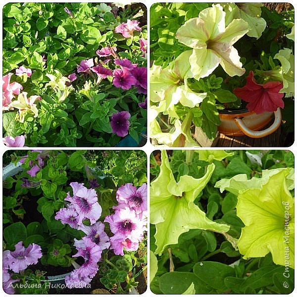 Здравствуйте дорогие мастера и мастерицы! Продолжаем разговор о петунии, вот и пролетел месяц, как мы посеяли  этот великолепный цветок, сегодня я расскажу как правильно пикировать рассаду этого цветка. Для этого нам понадобится почва, емкости для пикировки, рассада, палочки для пикировки, вода. фото 1