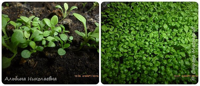 Здравствуйте дорогие мастера и мастерицы! Продолжаем разговор о петунии, вот и пролетел месяц, как мы посеяли  этот великолепный цветок, сегодня я расскажу как правильно пикировать рассаду этого цветка. Для этого нам понадобится почва, емкости для пикировки, рассада, палочки для пикировки, вода. фото 2