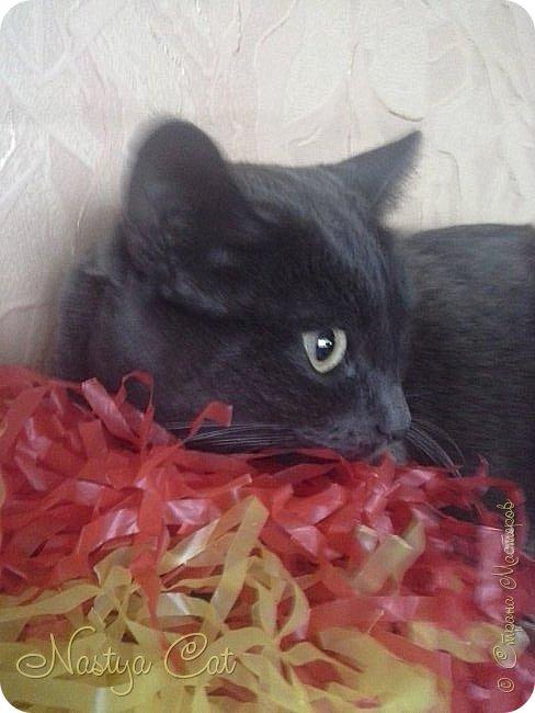 Мои любимые животные это кошки. Вот мой кот Тишка. Он серый с белыми пятнами на пузике. фото 2