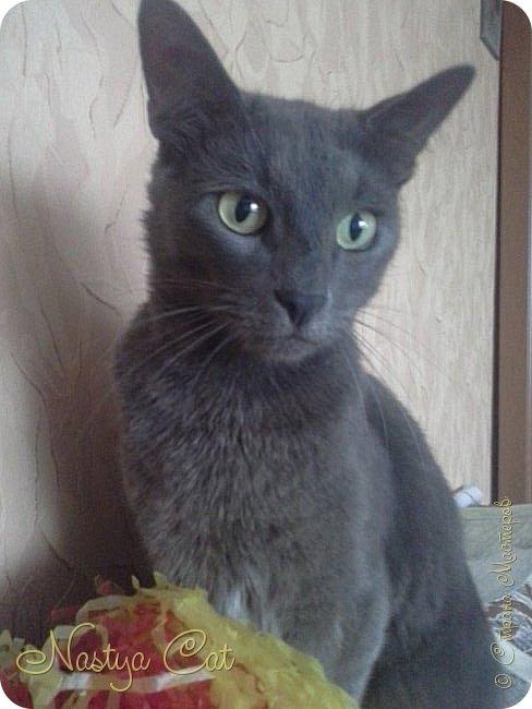 Мои любимые животные это кошки. Вот мой кот Тишка. Он серый с белыми пятнами на пузике. фото 1