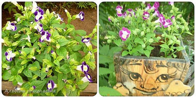 Здравствуйте мастера и мастерицы! Продолжаю рассказы о мелкосемянных цветочных культурах. Знакомьтесь верхние фото торения, справа в низу цинерария кровавая, слева эустома. Все три культуры объединяет одно они достойны вашего внимания, своим цветением они безусловно украсят ваш сад, балкон или квартиру. Да вы не ошиблись, квартиру, так все могут использоваться как комнатные культуры. Но для того, что бы украсить свой сад иди балкон, вы должны посеять эти культуры сейчас фото 6