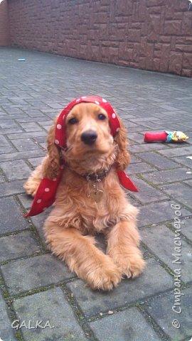 Всем привет, хочу поделиться своей радостью... ну, и конечно, похвастаться своим подарком на 8-е Марта, который сделали мне мои самые любимые в мире  мужчины Знакомьтесь, это английский кокер - спаниель СИМА ( СИМОНА) - самая лучшая, самая красивая и самая умная ( потому, что моя :)) собака в мире ( ну-у, во Львове - это точно :)) фото 9