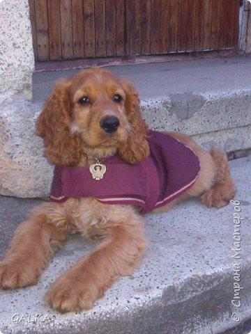 Всем привет, хочу поделиться своей радостью... ну, и конечно, похвастаться своим подарком на 8-е Марта, который сделали мне мои самые любимые в мире  мужчины Знакомьтесь, это английский кокер - спаниель СИМА ( СИМОНА) - самая лучшая, самая красивая и самая умная ( потому, что моя :)) собака в мире ( ну-у, во Львове - это точно :)) фото 10