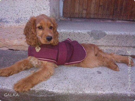 Всем привет, хочу поделиться своей радостью... ну, и конечно, похвастаться своим подарком на 8-е Марта, который сделали мне мои самые любимые в мире  мужчины Знакомьтесь, это английский кокер - спаниель СИМА ( СИМОНА) - самая лучшая, самая красивая и самая умная ( потому, что моя :)) собака в мире ( ну-у, во Львове - это точно :)) фото 11