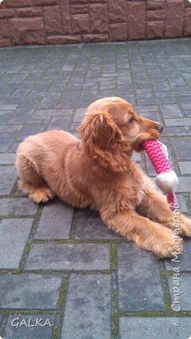 Всем привет, хочу поделиться своей радостью... ну, и конечно, похвастаться своим подарком на 8-е Марта, который сделали мне мои самые любимые в мире  мужчины Знакомьтесь, это английский кокер - спаниель СИМА ( СИМОНА) - самая лучшая, самая красивая и самая умная ( потому, что моя :)) собака в мире ( ну-у, во Львове - это точно :)) фото 12
