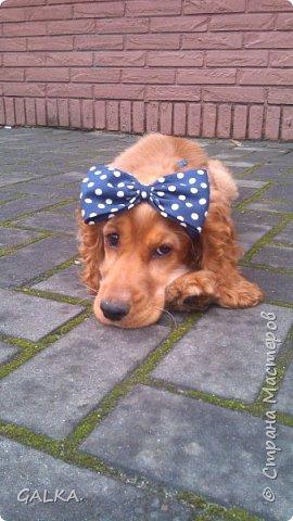 Всем привет, хочу поделиться своей радостью... ну, и конечно, похвастаться своим подарком на 8-е Марта, который сделали мне мои самые любимые в мире  мужчины Знакомьтесь, это английский кокер - спаниель СИМА ( СИМОНА) - самая лучшая, самая красивая и самая умная ( потому, что моя :)) собака в мире ( ну-у, во Львове - это точно :)) фото 1