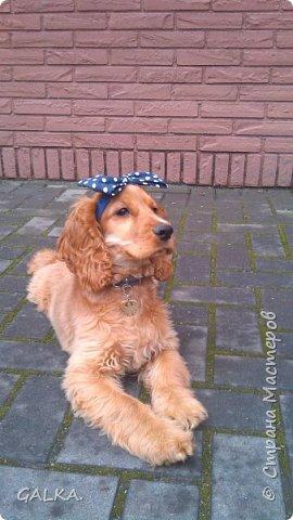 Всем привет, хочу поделиться своей радостью... ну, и конечно, похвастаться своим подарком на 8-е Марта, который сделали мне мои самые любимые в мире  мужчины Знакомьтесь, это английский кокер - спаниель СИМА ( СИМОНА) - самая лучшая, самая красивая и самая умная ( потому, что моя :)) собака в мире ( ну-у, во Львове - это точно :)) фото 3