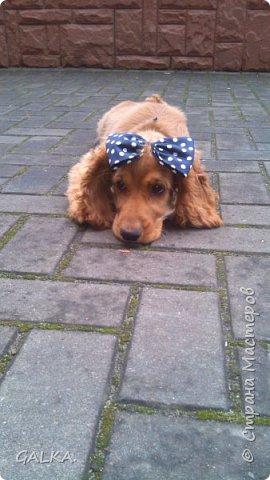 Всем привет, хочу поделиться своей радостью... ну, и конечно, похвастаться своим подарком на 8-е Марта, который сделали мне мои самые любимые в мире  мужчины Знакомьтесь, это английский кокер - спаниель СИМА ( СИМОНА) - самая лучшая, самая красивая и самая умная ( потому, что моя :)) собака в мире ( ну-у, во Львове - это точно :)) фото 2