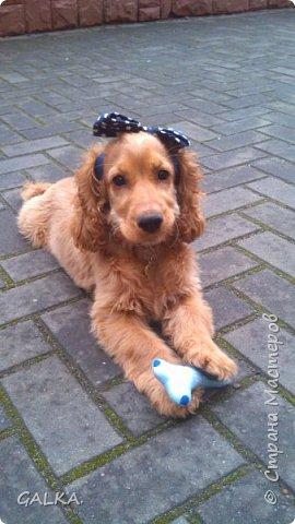 Всем привет, хочу поделиться своей радостью... ну, и конечно, похвастаться своим подарком на 8-е Марта, который сделали мне мои самые любимые в мире  мужчины Знакомьтесь, это английский кокер - спаниель СИМА ( СИМОНА) - самая лучшая, самая красивая и самая умная ( потому, что моя :)) собака в мире ( ну-у, во Львове - это точно :)) фото 4