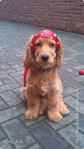 Всем привет, хочу поделиться своей радостью... ну, и конечно, похвастаться своим подарком на 8-е Марта, который сделали мне мои самые любимые в мире  мужчины Знакомьтесь, это английский кокер - спаниель СИМА ( СИМОНА) - самая лучшая, самая красивая и самая умная ( потому, что моя :)) собака в мире ( ну-у, во Львове - это точно :)) фото 6