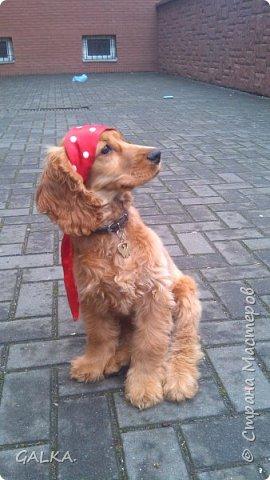 Всем привет, хочу поделиться своей радостью... ну, и конечно, похвастаться своим подарком на 8-е Марта, который сделали мне мои самые любимые в мире  мужчины Знакомьтесь, это английский кокер - спаниель СИМА ( СИМОНА) - самая лучшая, самая красивая и самая умная ( потому, что моя :)) собака в мире ( ну-у, во Львове - это точно :)) фото 7