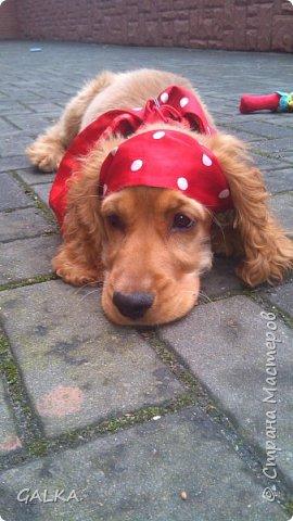 Всем привет, хочу поделиться своей радостью... ну, и конечно, похвастаться своим подарком на 8-е Марта, который сделали мне мои самые любимые в мире  мужчины Знакомьтесь, это английский кокер - спаниель СИМА ( СИМОНА) - самая лучшая, самая красивая и самая умная ( потому, что моя :)) собака в мире ( ну-у, во Львове - это точно :)) фото 8