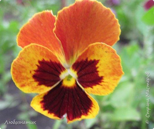 Добрый вечер! Хочу поделиться с вами летними воспоминаниями. Это мои садовые цветочки Гелихризум или бессмертник. Выращивала (первый раз) прошлым летом. Такие замечательные и красивые цветы. Не капризны в уходе. Собрала и высушила (прочитала в интернете), действительно как живые, даже после высыхания-ЧУДЕСА!  фото 12