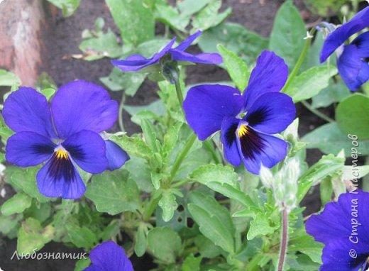 Добрый вечер! Хочу поделиться с вами летними воспоминаниями. Это мои садовые цветочки Гелихризум или бессмертник. Выращивала (первый раз) прошлым летом. Такие замечательные и красивые цветы. Не капризны в уходе. Собрала и высушила (прочитала в интернете), действительно как живые, даже после высыхания-ЧУДЕСА!  фото 5
