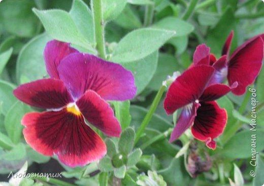 Добрый вечер! Хочу поделиться с вами летними воспоминаниями. Это мои садовые цветочки Гелихризум или бессмертник. Выращивала (первый раз) прошлым летом. Такие замечательные и красивые цветы. Не капризны в уходе. Собрала и высушила (прочитала в интернете), действительно как живые, даже после высыхания-ЧУДЕСА!  фото 9