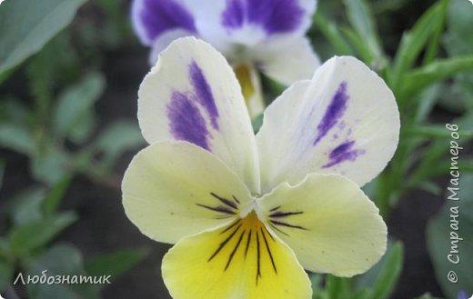Добрый вечер! Хочу поделиться с вами летними воспоминаниями. Это мои садовые цветочки Гелихризум или бессмертник. Выращивала (первый раз) прошлым летом. Такие замечательные и красивые цветы. Не капризны в уходе. Собрала и высушила (прочитала в интернете), действительно как живые, даже после высыхания-ЧУДЕСА!  фото 13