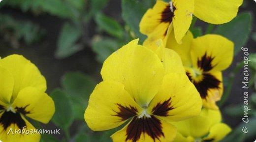 Добрый вечер! Хочу поделиться с вами летними воспоминаниями. Это мои садовые цветочки Гелихризум или бессмертник. Выращивала (первый раз) прошлым летом. Такие замечательные и красивые цветы. Не капризны в уходе. Собрала и высушила (прочитала в интернете), действительно как живые, даже после высыхания-ЧУДЕСА!  фото 10