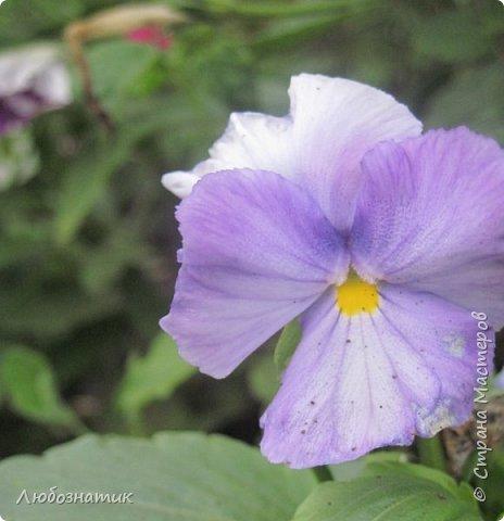 Добрый вечер! Хочу поделиться с вами летними воспоминаниями. Это мои садовые цветочки Гелихризум или бессмертник. Выращивала (первый раз) прошлым летом. Такие замечательные и красивые цветы. Не капризны в уходе. Собрала и высушила (прочитала в интернете), действительно как живые, даже после высыхания-ЧУДЕСА!  фото 8