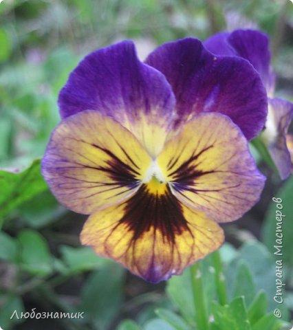 Добрый вечер! Хочу поделиться с вами летними воспоминаниями. Это мои садовые цветочки Гелихризум или бессмертник. Выращивала (первый раз) прошлым летом. Такие замечательные и красивые цветы. Не капризны в уходе. Собрала и высушила (прочитала в интернете), действительно как живые, даже после высыхания-ЧУДЕСА!  фото 11