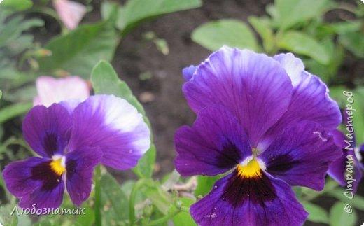 Добрый вечер! Хочу поделиться с вами летними воспоминаниями. Это мои садовые цветочки Гелихризум или бессмертник. Выращивала (первый раз) прошлым летом. Такие замечательные и красивые цветы. Не капризны в уходе. Собрала и высушила (прочитала в интернете), действительно как живые, даже после высыхания-ЧУДЕСА!  фото 14