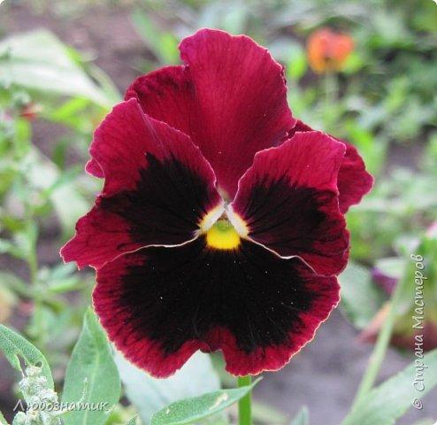 Добрый вечер! Хочу поделиться с вами летними воспоминаниями. Это мои садовые цветочки Гелихризум или бессмертник. Выращивала (первый раз) прошлым летом. Такие замечательные и красивые цветы. Не капризны в уходе. Собрала и высушила (прочитала в интернете), действительно как живые, даже после высыхания-ЧУДЕСА!  фото 6