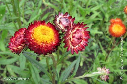Добрый вечер! Хочу поделиться с вами летними воспоминаниями. Это мои садовые цветочки Гелихризум или бессмертник. Выращивала (первый раз) прошлым летом. Такие замечательные и красивые цветы. Не капризны в уходе. Собрала и высушила (прочитала в интернете), действительно как живые, даже после высыхания-ЧУДЕСА!  фото 4