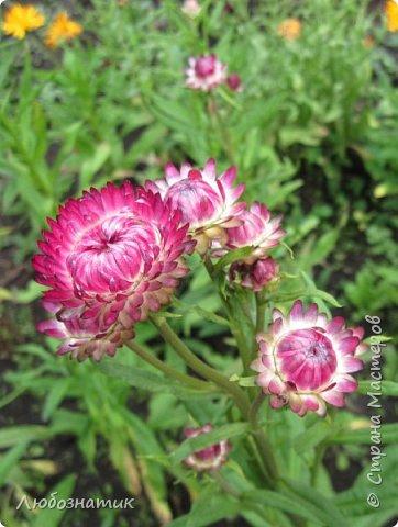 Добрый вечер! Хочу поделиться с вами летними воспоминаниями. Это мои садовые цветочки Гелихризум или бессмертник. Выращивала (первый раз) прошлым летом. Такие замечательные и красивые цветы. Не капризны в уходе. Собрала и высушила (прочитала в интернете), действительно как живые, даже после высыхания-ЧУДЕСА!  фото 1