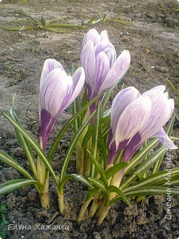 Віддаляючи холод зими, Наближаючи казку літа, Як безцінний дарунок землі, Розцвітають для нас первоцвіти  фото 3