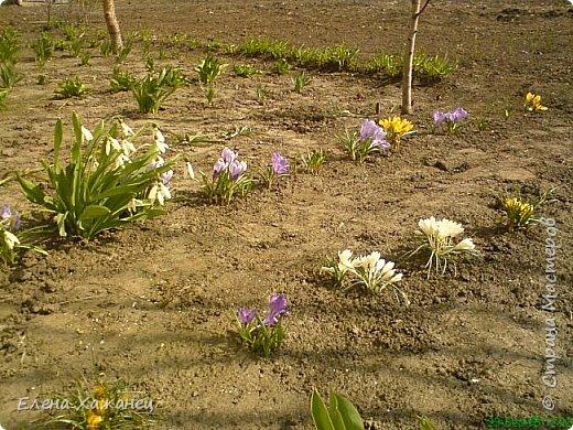 Віддаляючи холод зими, Наближаючи казку літа, Як безцінний дарунок землі, Розцвітають для нас первоцвіти  фото 1