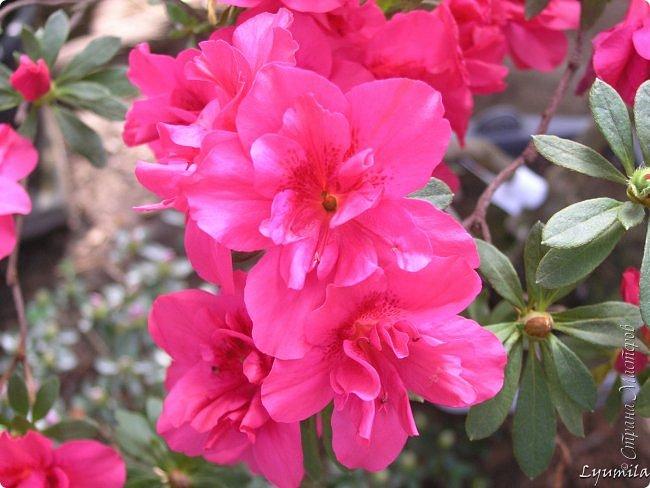 """Сейчас в фондовой оранжерее Главного Ботанического сада г. Москвы представлена выставка орхидей, камелий """"Поэзия Цветов"""" и экспозиция цветущих азалий! Спешите, ежедневно с 11 до 18, дарите себе праздник цветов! фото 1"""