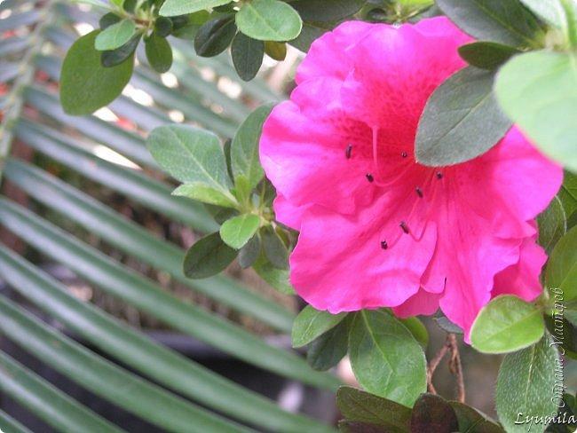 """Сейчас в фондовой оранжерее Главного Ботанического сада г. Москвы представлена выставка орхидей, камелий """"Поэзия Цветов"""" и экспозиция цветущих азалий! Спешите, ежедневно с 11 до 18, дарите себе праздник цветов! фото 2"""