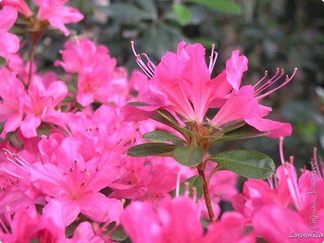 """Сейчас в фондовой оранжерее Главного Ботанического сада г. Москвы представлена выставка орхидей, камелий """"Поэзия Цветов"""" и экспозиция цветущих азалий! Спешите, ежедневно с 11 до 18, дарите себе праздник цветов! фото 14"""