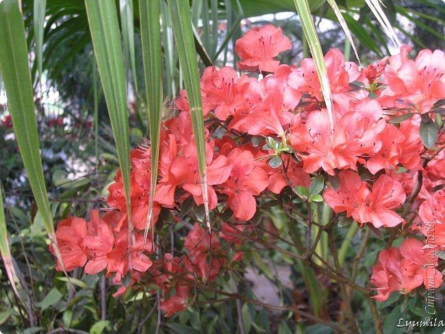 """Сейчас в фондовой оранжерее Главного Ботанического сада г. Москвы представлена выставка орхидей, камелий """"Поэзия Цветов"""" и экспозиция цветущих азалий! Спешите, ежедневно с 11 до 18, дарите себе праздник цветов! фото 6"""