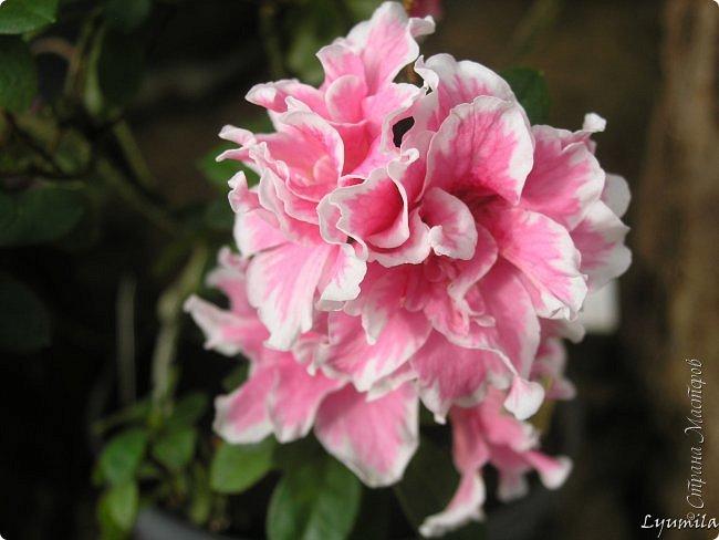 """Сейчас в фондовой оранжерее Главного Ботанического сада г. Москвы представлена выставка орхидей, камелий """"Поэзия Цветов"""" и экспозиция цветущих азалий! Спешите, ежедневно с 11 до 18, дарите себе праздник цветов! фото 10"""