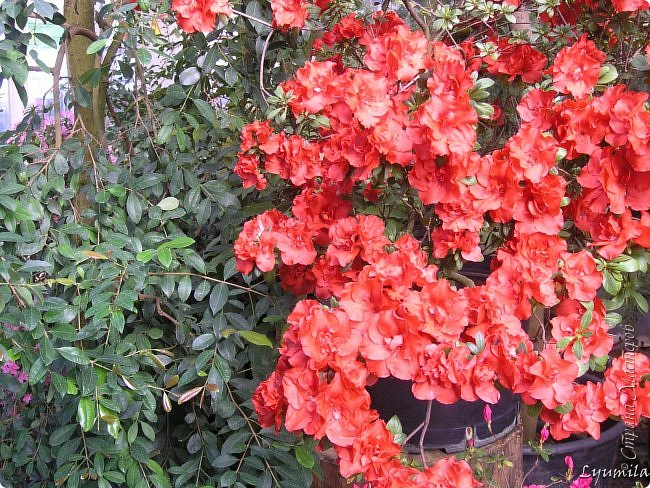 """Сейчас в фондовой оранжерее Главного Ботанического сада г. Москвы представлена выставка орхидей, камелий """"Поэзия Цветов"""" и экспозиция цветущих азалий! Спешите, ежедневно с 11 до 18, дарите себе праздник цветов! фото 4"""