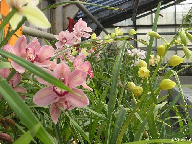 """Сейчас в фондовой оранжерее Главного Ботанического сада г. Москвы представлена выставка орхидей, камелий """"Поэзия Цветов"""" и экспозиция цветущих азалий! Спешите, ежедневно с 11 до 18, дарите себе праздник цветов! фото 26"""