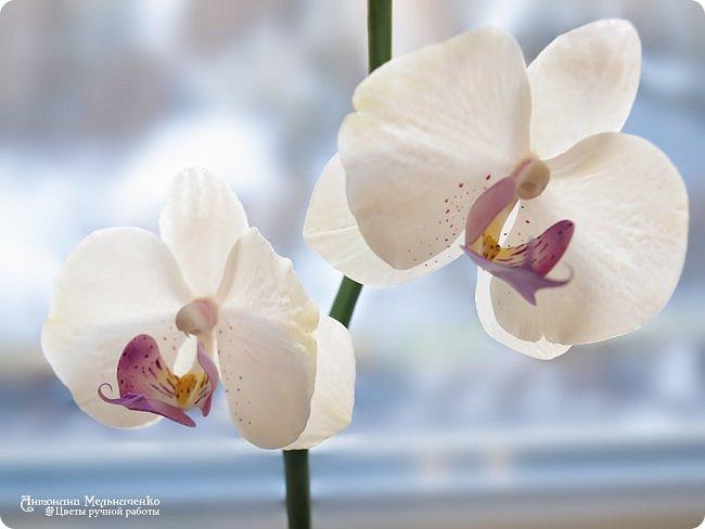 """Доброе утро, друзья! Хочу показать еще одно обновление - веточка орхидеи фаленопсис. Если с тюльпаном улучшения были долгими и томительными, то с орхидеей просто в один день """"прорвало"""". Я просто взяла и сделала практически все улучшения, которые хотелось бы сделать. Мало того эта веточка, что на фотографиях не самый лучший образец того, что я могу сделать. Дело в том, что родилась она на одном из очных занятий, когда я учениц-мастериц спросила """"Готовы к вливанию новых знаний? Можем задержаться дольше, чем по графику"""". Девочки сказали """"Готовы!"""" и понеслось. Было изменено совершенно все! Начиная от губы с колонкой и заканчивая листьями. На занятии, правда, листьев мы делали всего четыре так что еще дома долепила до нужного числа.  Вот такие вот эксперименты иногда терпят мои ученицы :) Но зато какие приятные. А завтра будем лепить розу. Буду тоже вливать новые знания, но с ней пока понемногу. В планах множество изменений, но их хочу сначала опробовать дома. фото 3"""