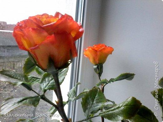 Добрый день уважаемые мастера и мастерицы Страны Мастеров!!Очередные розы,на сей раз двухцветные!!! фото 5