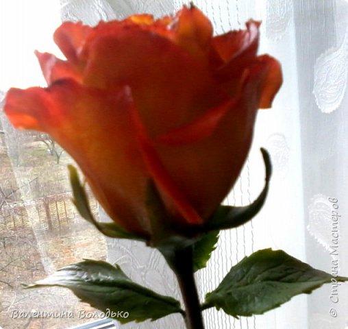 Добрый день уважаемые мастера и мастерицы Страны Мастеров!!Очередные розы,на сей раз двухцветные!!! фото 7