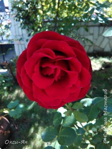 Уже запахло весной и хочется хорошего настроения и больше цвета. Ето моя, так сказать, синяя роза. фото 3