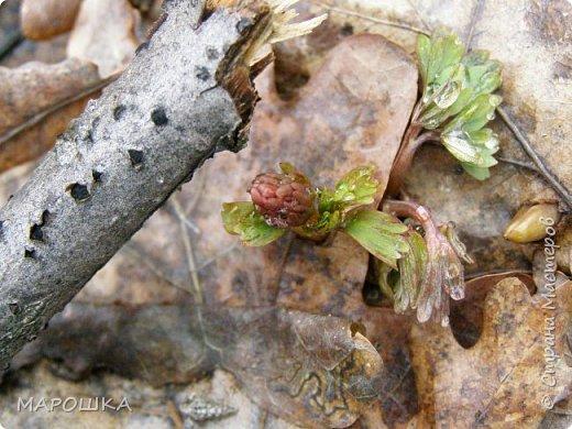 проталкиваются хохлатки, укрытые прошлогодней листвой, умываясь весенним туманом уходящего снега фото 2