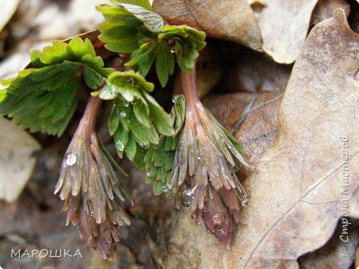 проталкиваются хохлатки, укрытые прошлогодней листвой, умываясь весенним туманом уходящего снега фото 3