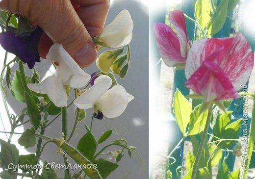 Цветок душистого горошка из холодного фарфора без вырубок (катеров), поэтапный мастер- класс  фото 2