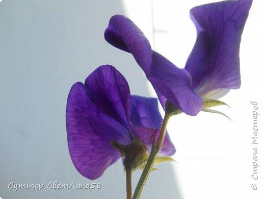 Цветок душистого горошка из холодного фарфора без вырубок (катеров), поэтапный мастер- класс  фото 4