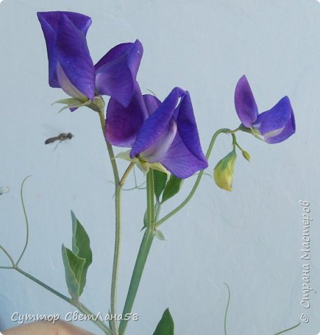 Цветок душистого горошка из холодного фарфора без вырубок (катеров), поэтапный мастер- класс  фото 3